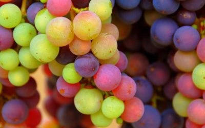 The vine in August: the veraison is there, the harvest is approaching